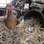 Free range eggs from free range hens